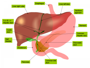 800px-Anatomy_of_liver_and_gall_bladder